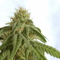 Afrodite Feminised Cannabis Seeds