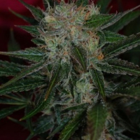 Agent Orange Regular Cannabis Seeds | TGA Seeds