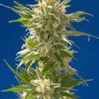 AK Feminised Cannabis Seeds| CBD Seeds