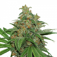 AK420 Feminised Cannabis Seeds | Seed Stockers