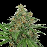 AK420 Feminised Cannabis Seeds | Seed Stockers
