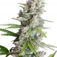 AK Auto Feminised Cannabis Seeds   Seedmakers Seeds