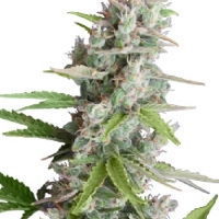 AK Auto Feminised Cannabis Seeds