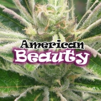 American Beauty Feminised Cannabis Seeds | Dr Underground