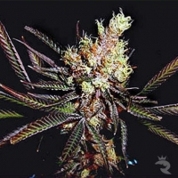 Amethyst Bud Regular Cannabis Seeds | Soma Seeds