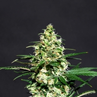 Amnesi K Lemon Feminised Cannabis Seeds