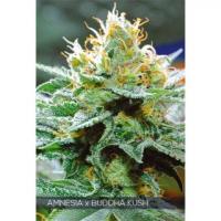 Amnesia x Bubba Kush Feminised Cannabis Seeds | Vision Seeds