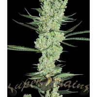 Amnesia Feminised Cannabis Seeds | Superstrains