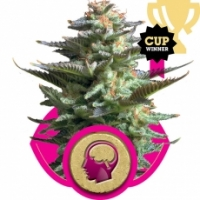 Royal Queen Seeds Amnesia Haze Feminised Cannabis Seeds For Sale