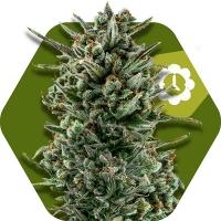 Amnesia Haze XL Feminised Cannabis Seeds | Zambeza Seeds