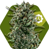 Amnesia Haze XL Auto Feminised Cannabis Seeds   Zambeza Seeds