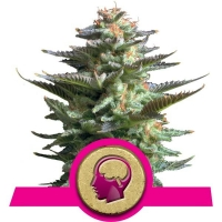 Amnesia Haze Feminised Cannabis Seeds | Royal Queen Seeds