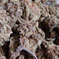 Amnesia Haze Feminised Cannabis Seeds | Soma Seeds