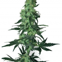 Amnesia White Regular Cannabis Seeds   White Label Seed Company