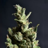 CBD Seeds Amnesia Cannabis Seeds