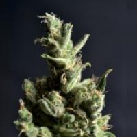 Amnesia Feminised Cannabis Seeds | CBD Seeds Classic Line