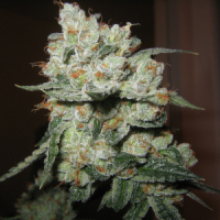 Chuck Berry Regular Cannabis Seeds | Apothecary Genetics Seeds