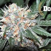 Don Tangelo Feminised Cannabis Seeds   Allstar Genetics
