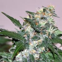 El Cid Feminised Cannabis Seeds   Allstar Genetics