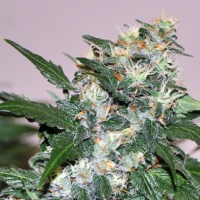 El Cid Regular Cannabis Seeds