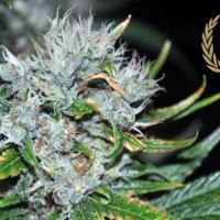 Kaligria Feminised Cannabis Seeds   Allstar Genetics