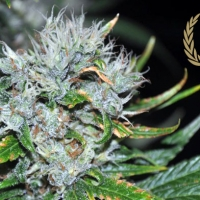 Kaligria Regular Cannabis Seeds