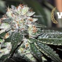 Westside Feminised Cannabis Seeds   Allstar Genetics