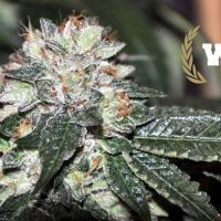Westside Feminised Cannabis Seeds