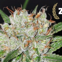 Zilvermist Feminised Cannabis Seeds   Allstar Genetics