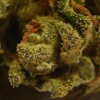 Auto Afghani Feminised Cannabis Seeds