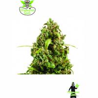 Auto NYC Bronx  Diesel Feminised Cannabis Seeds | Dispensario Seeds