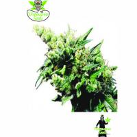 Auto Old School Hashplant Feminised Cannabis Seeds | Dispensario Seeds