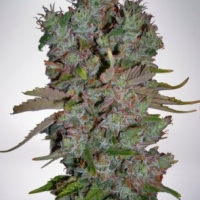 Auto Blueberry Domina Feminised Cannabis Seeds | Ministry of Cannabis