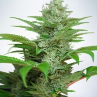 Auto CBD Star Feminised Cannabis Seeds | Ministry of Cannabis