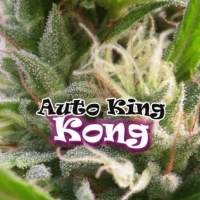 Auto King Kong Feminised Cannabis Seeds | Dr Underground