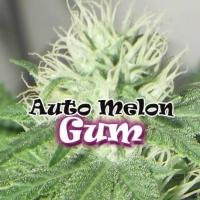 Auto Melon Gum Feminised Cannabis Seeds | Dr Underground