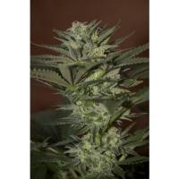 Auto Mini Gun Feminised Cannabis Seeds | Seedsman