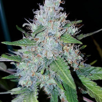 Auto Monster Mass Feminsed Cannabis Seeds | Critical Mass Collective Seeds