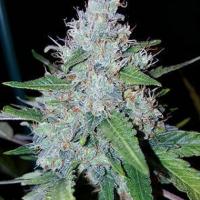 Auto Monster Mass Feminsed Cannabis Seeds | Critical Mass Collective Seeds