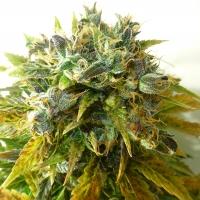 Auto Onyx Feminised Cannabis Seeds | Seedsman