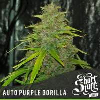 Auto Purple Gorilla Feminised Cannabis Seed | Short Stuff Seeds