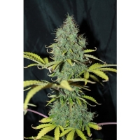 Auto Sweet Tooth Feminised Cannabis Seeds | Seedsman