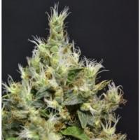 Auto Amnesia Feminised Cannabis Seeds | C.B.D. Seeds