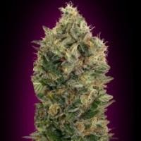 Advanced Seeds Auto Black Diesel Feminised Cannabis Seeds