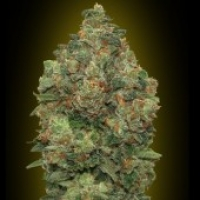 Advanced Seeds Auto Critical Soma Feminised Cannabis Seeds