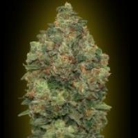 Advanced Seeds Auto Critical Soma Feminised Cannabis Seeds
