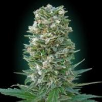 Advanced Seeds Auto Heavy Bud Feminised Cannabis Seeds