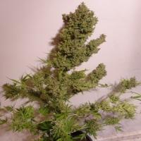 Auto Malawi x Northern Lights Feminised Cannabis Seeds   Ace Seeds