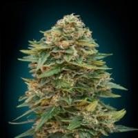 Advanced Seeds Auto Skunk 47 Feminised Cannabis Seeds