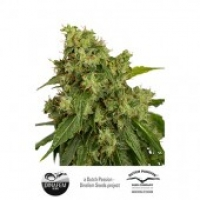 AutoXtreme Auto Feminised Cannabis Seeds | Dutch Passion